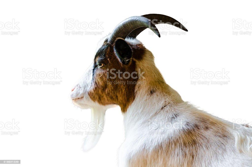 Goat isolated stock photo