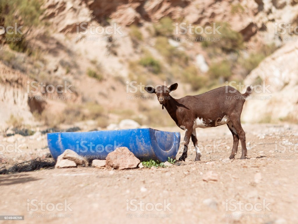 goat kid drinks some water stock photo more pictures of acacia