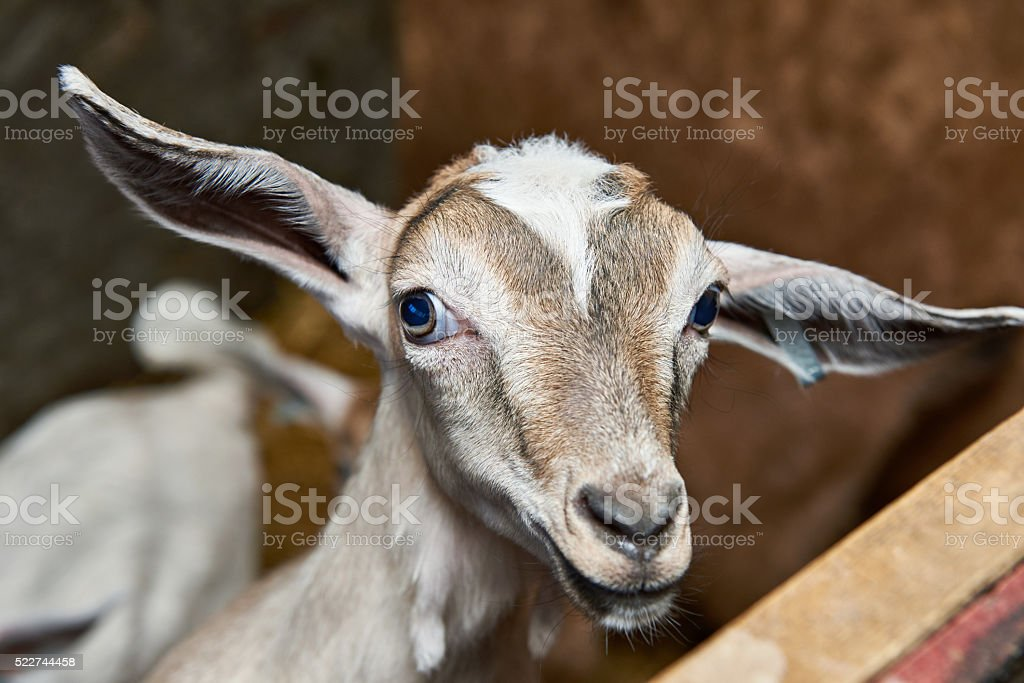 Goat kid in corral on farm stock photo