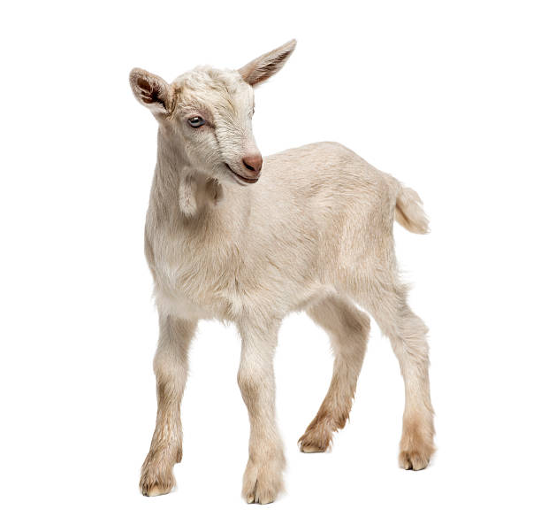 Kid Goat Pictures, Images and Stock Photos - iStock  One Goat White Background