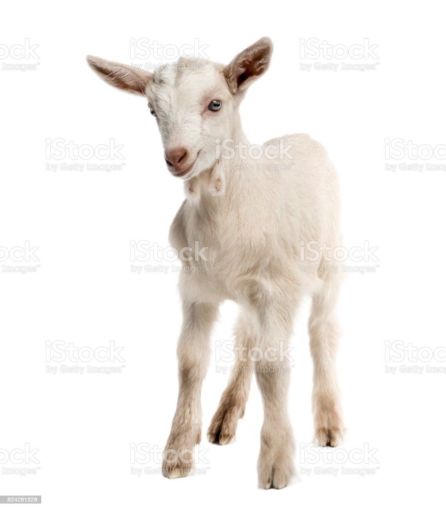 Goat kid (8 weeks old) isolated on white stock photo