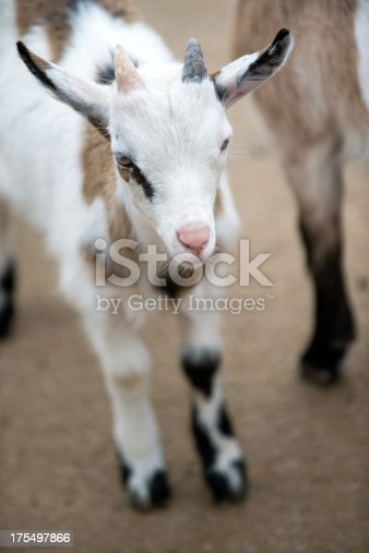 A goat standing in a farmyard
