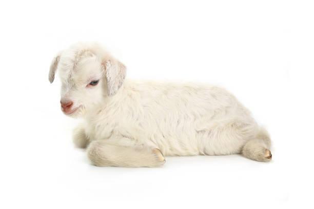goat kid - weißes lamm stock-fotos und bilder