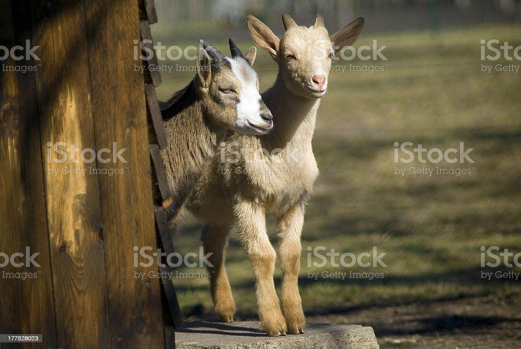 Goat kids royalty-free stock photo