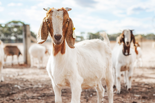 A goat looking at camera on a farm surrounded by other goats