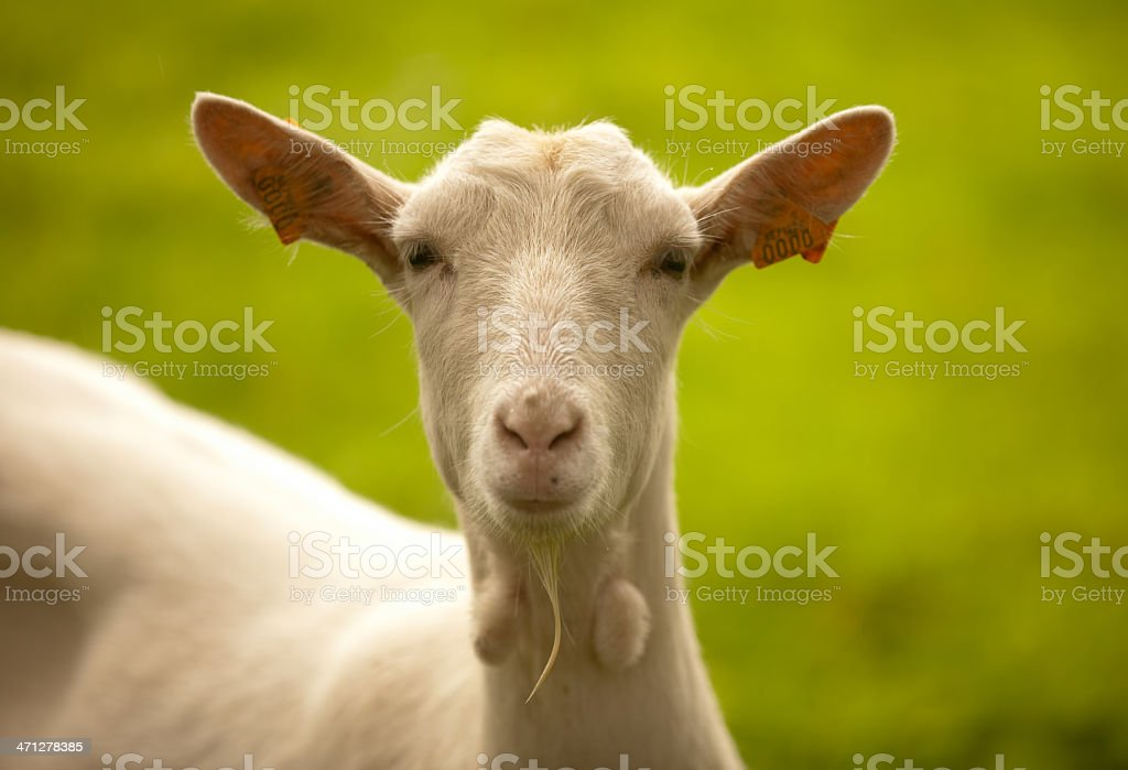 Goat looking into lens stock photo