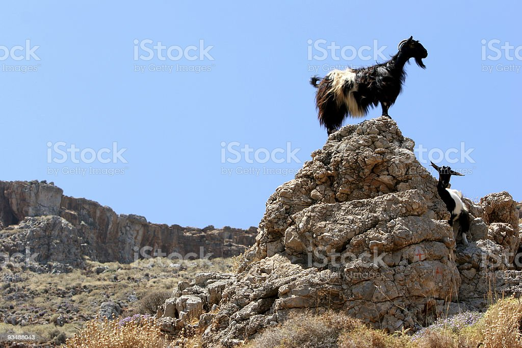 Goat look-out royalty-free stock photo