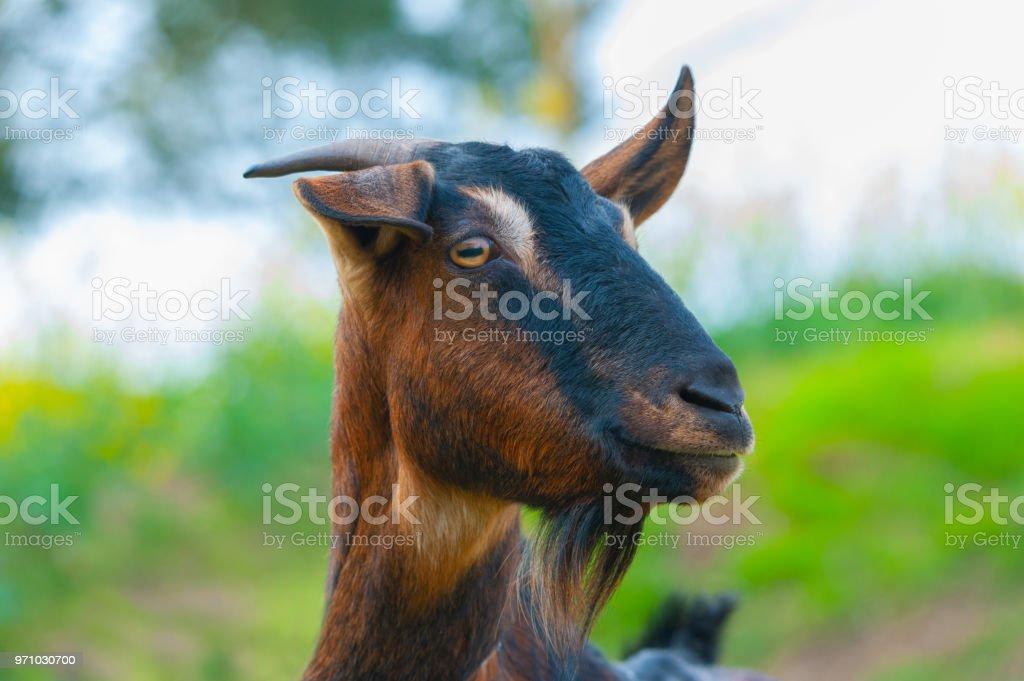 Chèvre est à nous - Photo