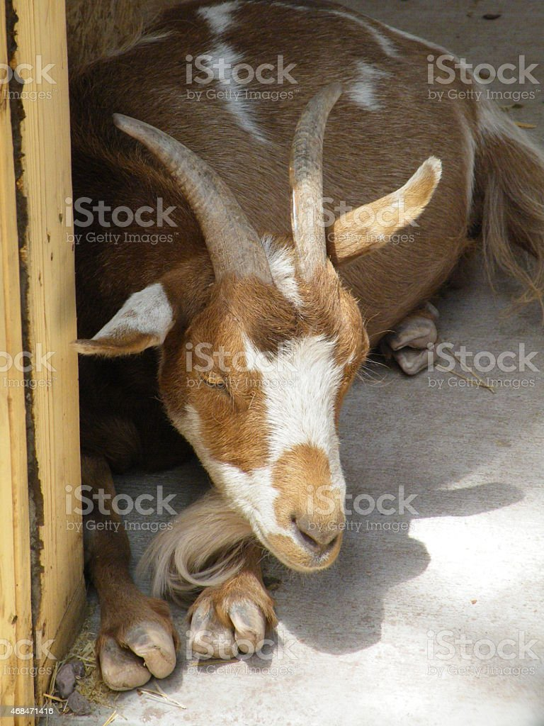 Goat lying down stock photo