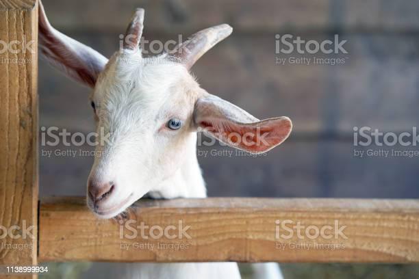 Goat milking facilities in a farm livestock picture id1138999934?b=1&k=6&m=1138999934&s=612x612&h=mhikw7geniryg7ophh 30nqcrjokqmnqauw9iqrtnas=
