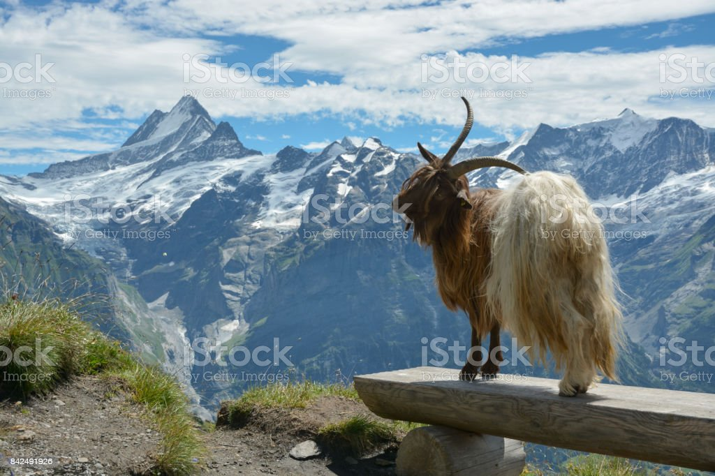 Goat model posing in Swisss Alps stock photo