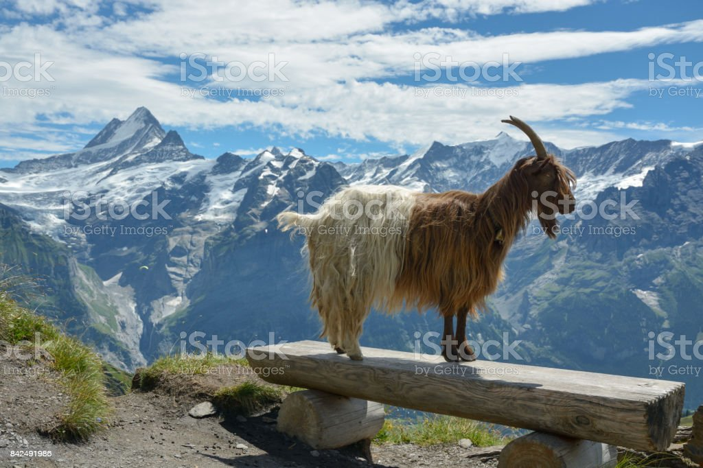 Goat model posing in Swisss Alps stock photo