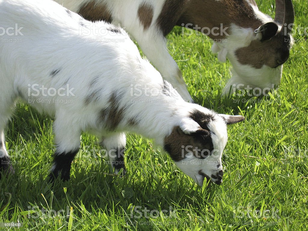Goat mother and child III royalty-free stock photo