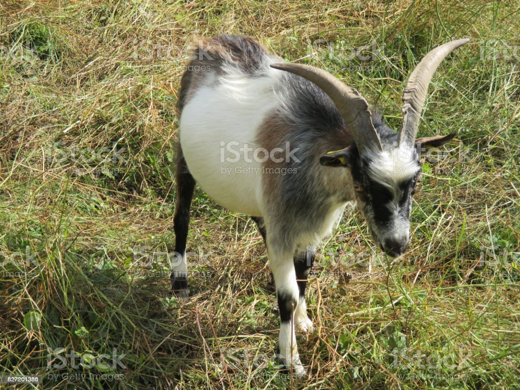 Goat of the ditches stock photo
