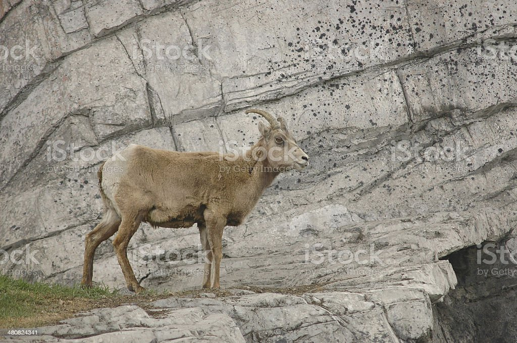 goat on a cliff royalty-free stock photo