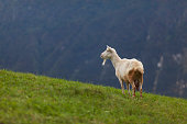Goat on a Field Admiring the View on Julian alps - Stock Photo