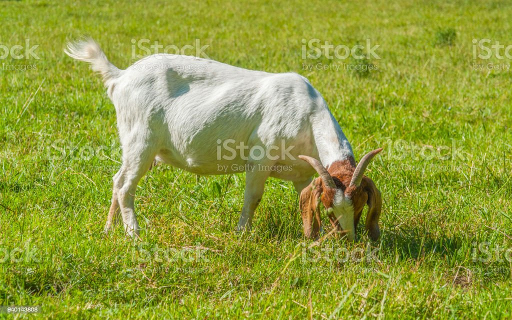 goat on a meadow stock photo