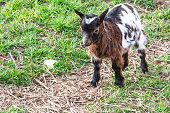 Goats that eat grass, goat on a pasture.