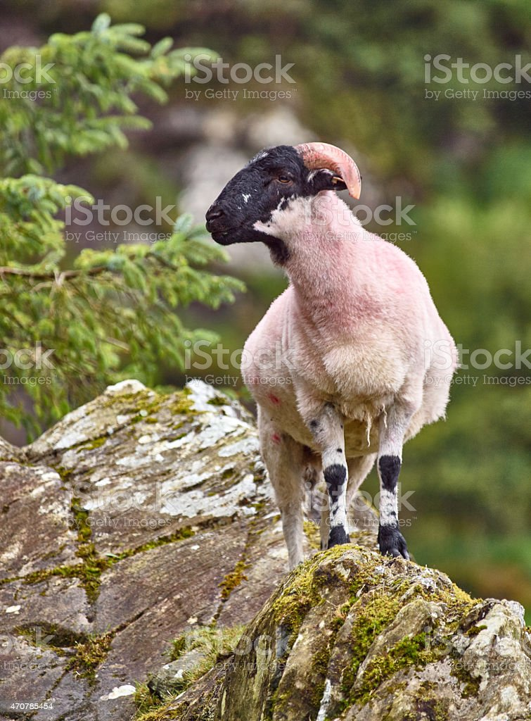 Goat on a rock stock photo