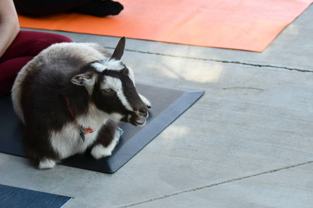 goat on a yoga mat close up - steven harrie stock pictures, royalty-free photos & images