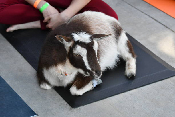 goat on a yoga mat - steven harrie stock pictures, royalty-free photos & images