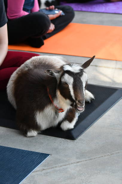 goat on a yoga mat vertical - steven harrie stock pictures, royalty-free photos & images