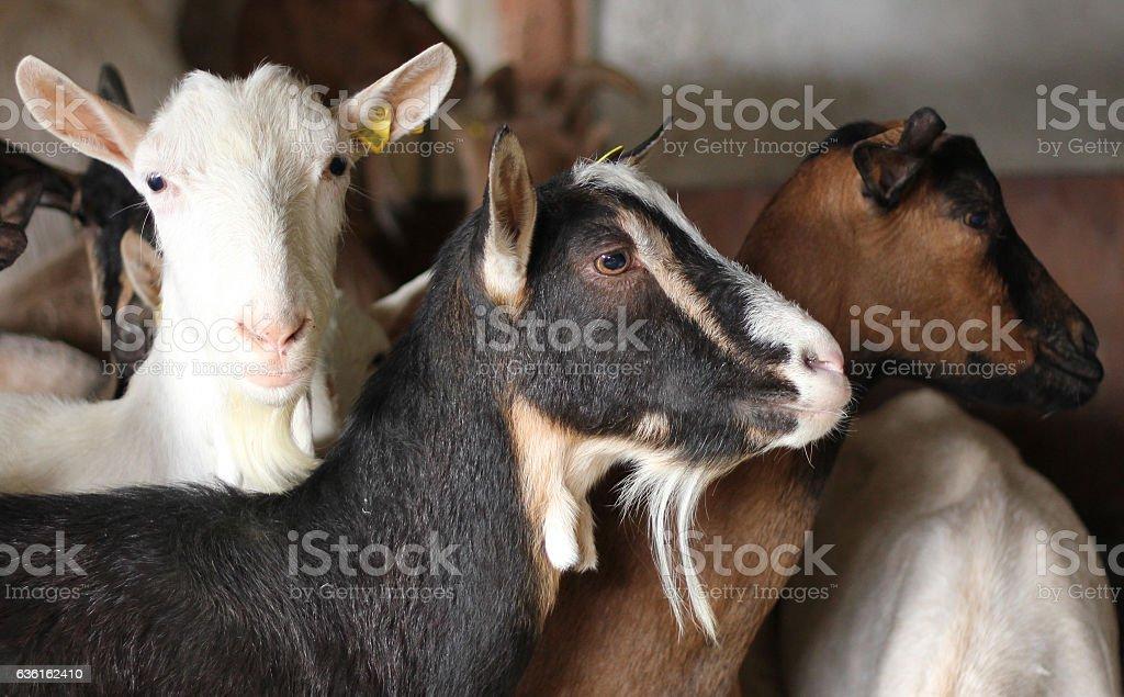 Fazenda de cabra - foto de acervo
