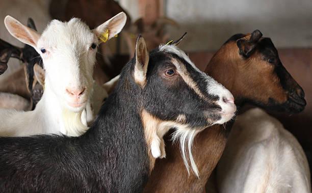 Chèvre sur farm - Photo
