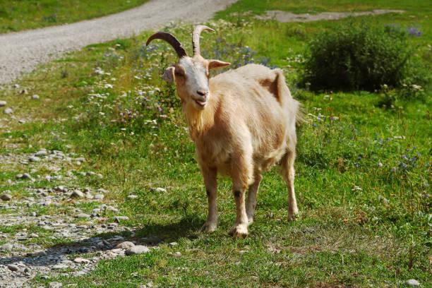 Goat on pasture. stock photo