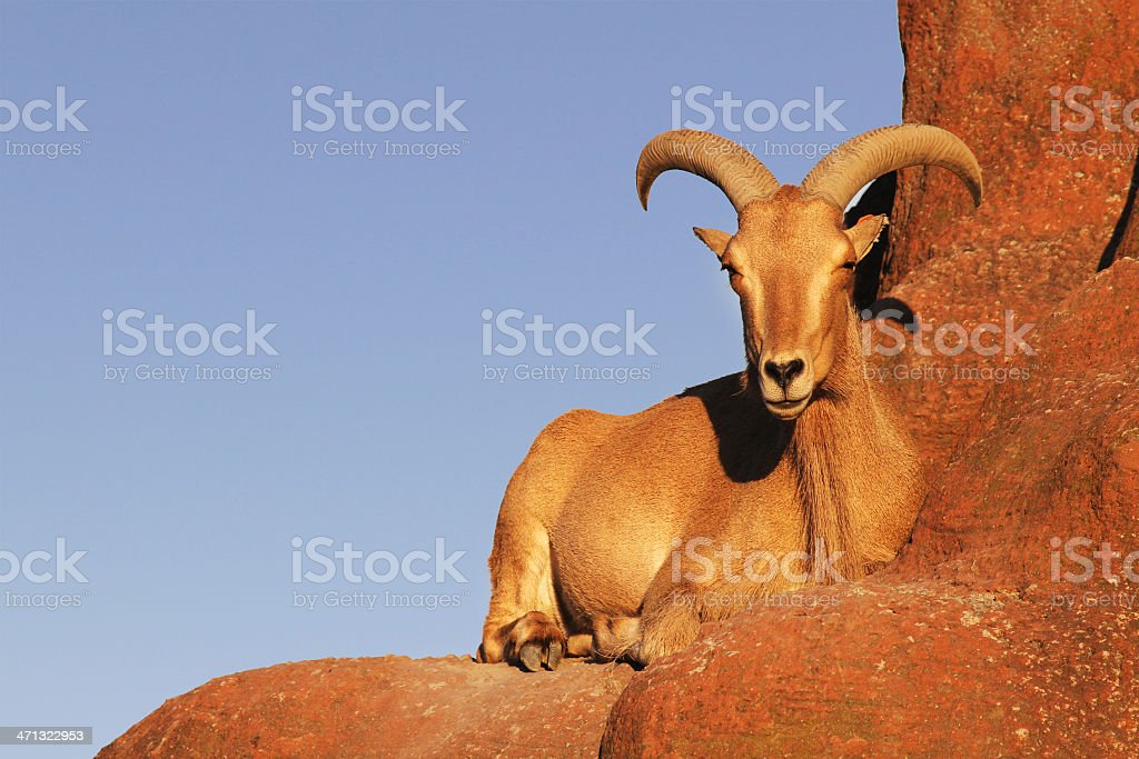 Goat on Rock with Copyspace stock photo