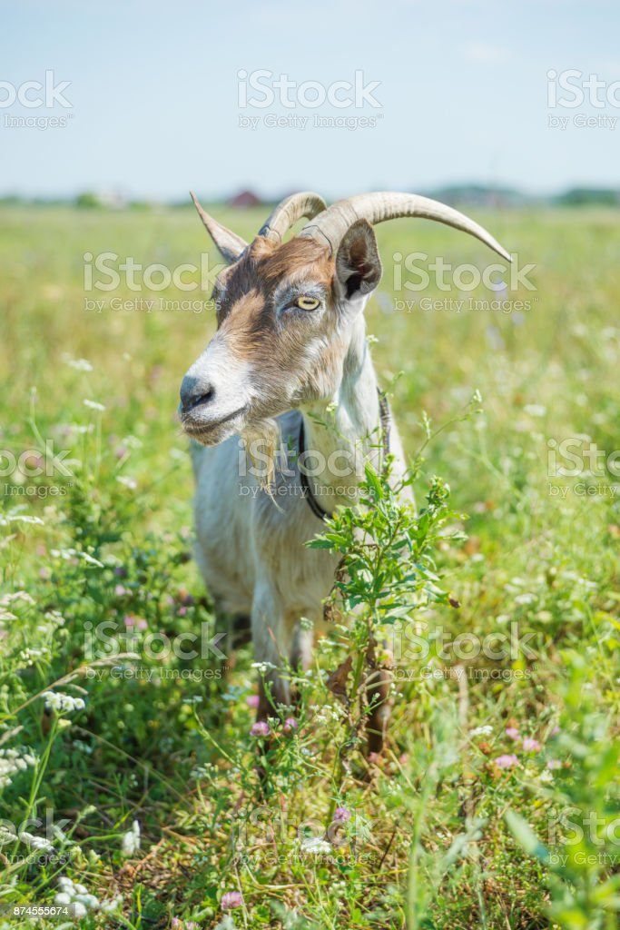 Goat on the summer meadow stock photo