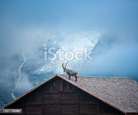 Ibex goat standing on the rooftop of a house in front of mountain glacier
