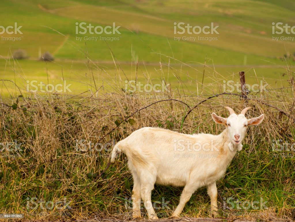 Goat outside during the day time stock photo