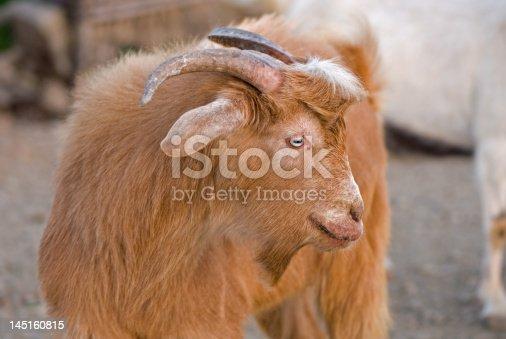 istock Goat 145160815