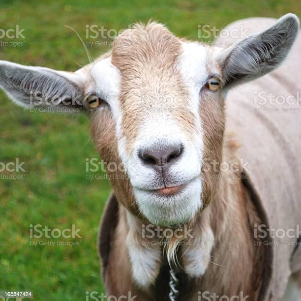 Goat picture id165847424?b=1&k=6&m=165847424&s=612x612&h=abcodei98lw tfc88w nutkjwelvkpsggqq1q0osrvs=