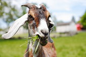 Goat Chewing grass in field.Focus is on his eyes.Farm and rail fence out of focus in the background.