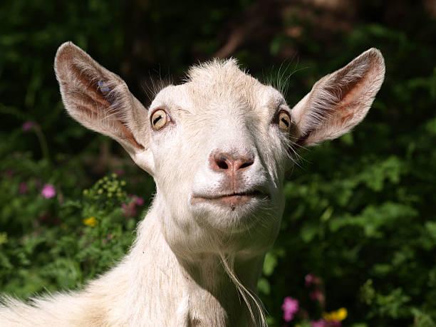 goat - ziegenhof stock-fotos und bilder