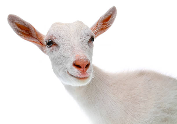 a goat Goat simulator is the latest in goat simulation technology, bringing next-gen goat simulation to you you no longer have to fantasize about being a goat, your dreams have finally come truegameplay-wise, goat simulator is all about causing as much destruction as you possibly can as a goat.