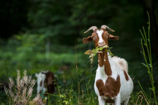 Portrait of goat on a meadow.