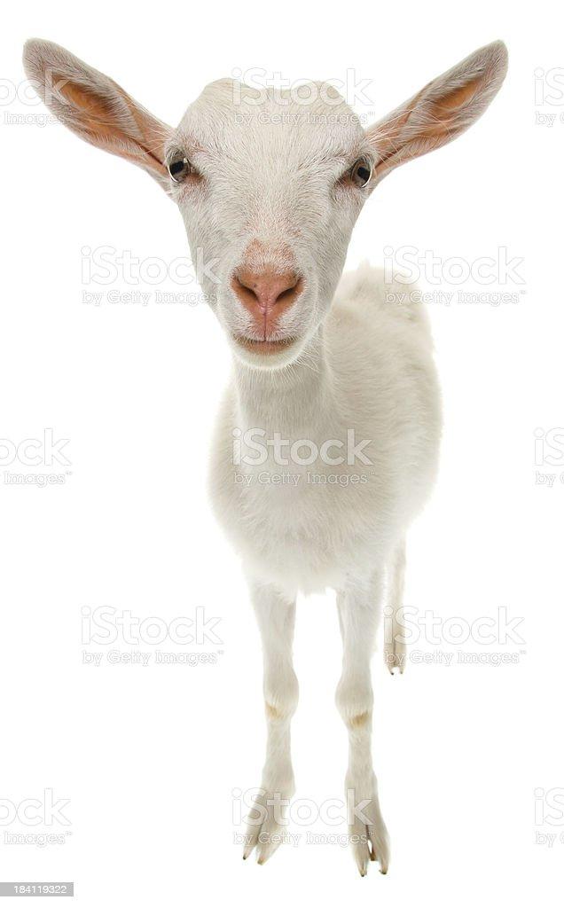 Goat royalty-free stock photo