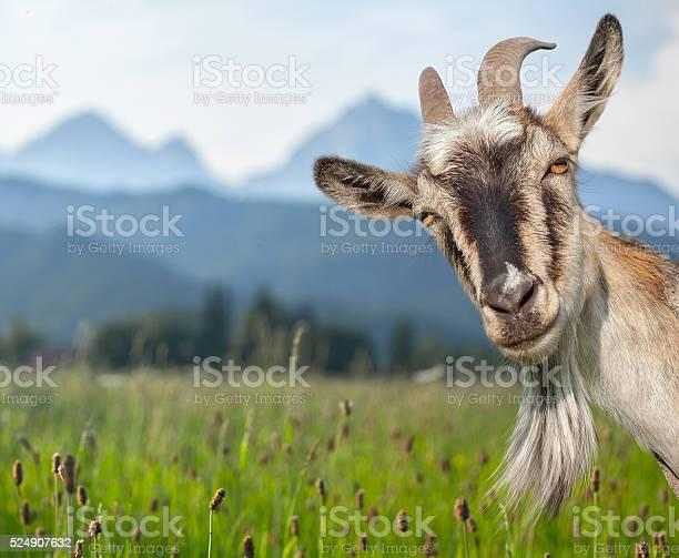 Goat picture id524907632?b=1&k=6&m=524907632&s=612x612&h=hgsofdasov49so9k1tauscilnrkpaec j5rg vv8 80=