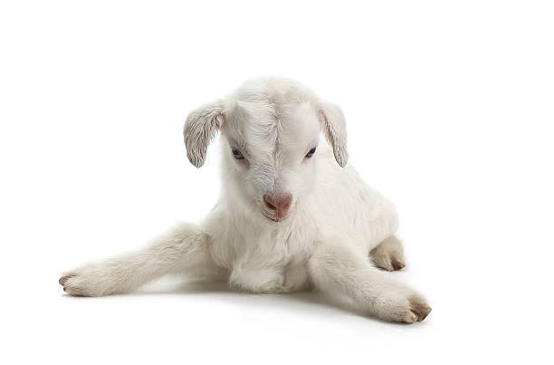 goat - weißes lamm stock-fotos und bilder