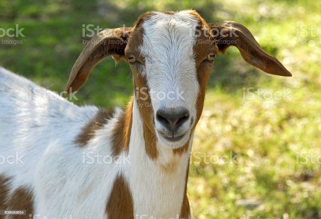 Chèvre stock photo