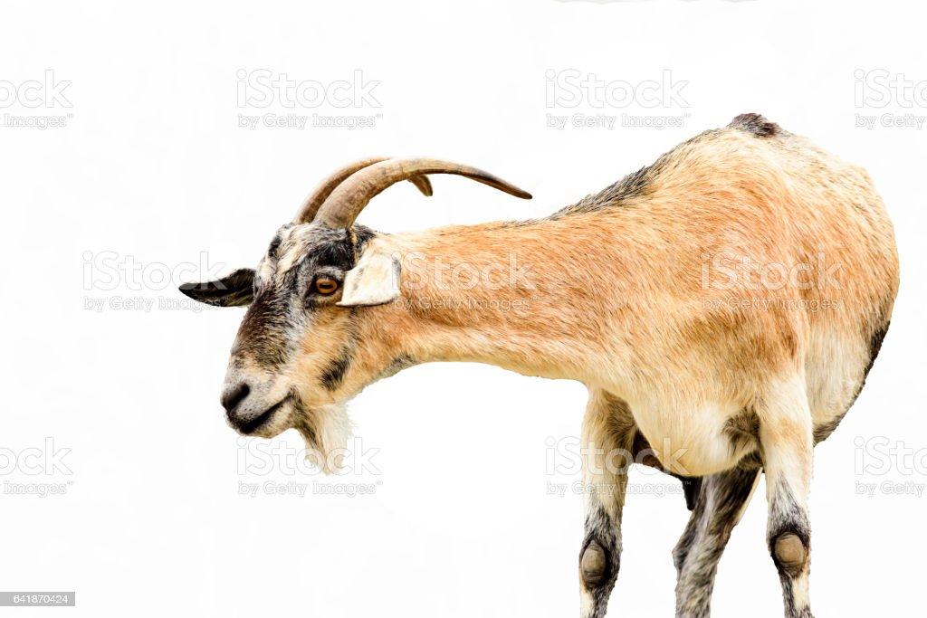 De chèvre  - Photo