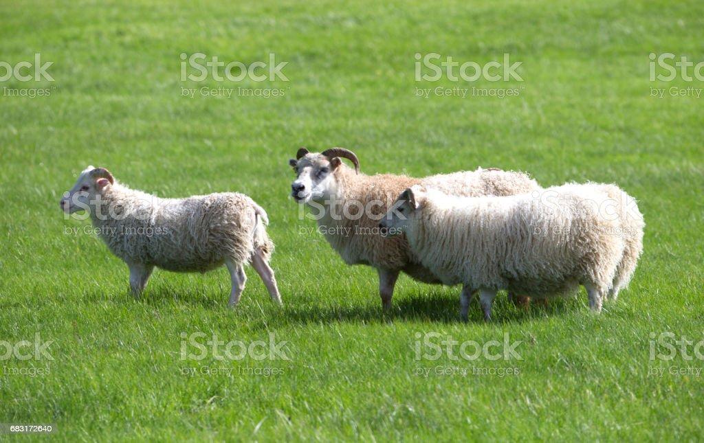 Goat  Lizenzfreies stock-foto