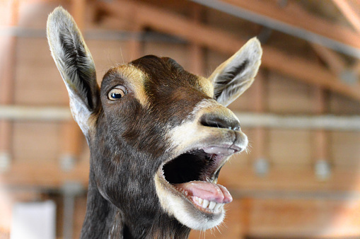 An excited goat at the farm