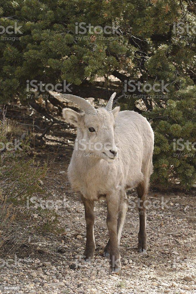 Goat royaltyfri bildbanksbilder