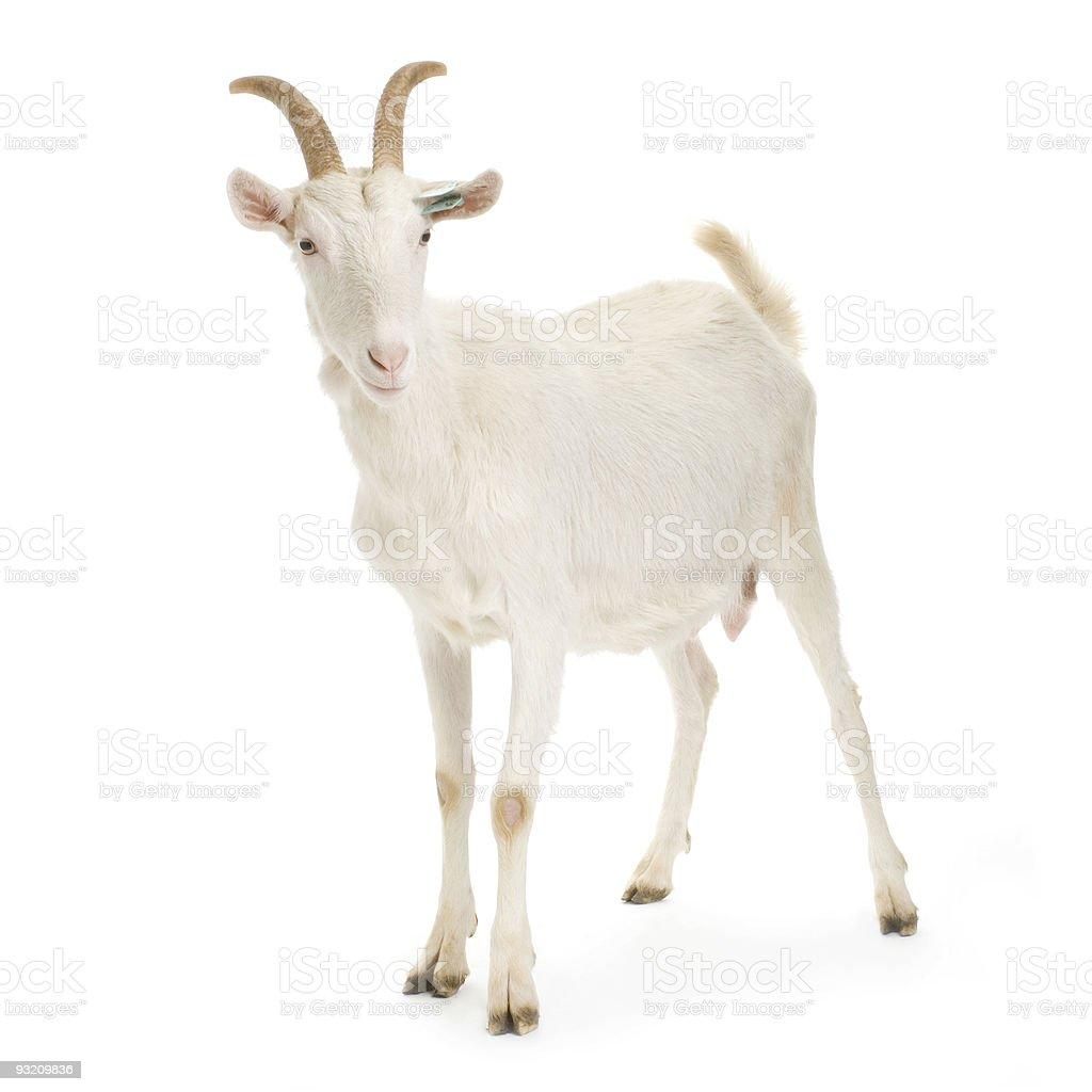 Goat - Lizenzfrei Einzelnes Tier Stock-Foto