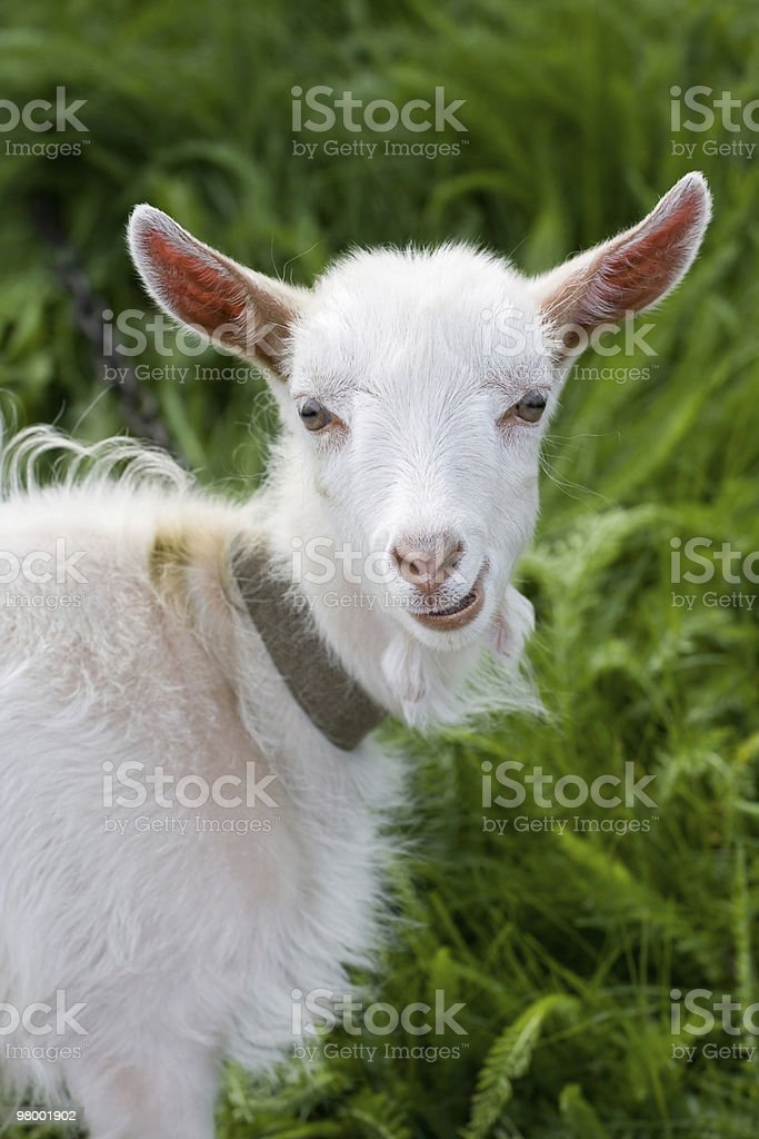 goat royalty free stockfoto