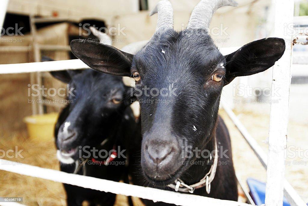 Goat portrait 2 royalty-free stock photo